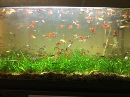 Pesci acquario Guppy maschi, femmine e avannotti