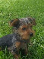 Cuccioli di Yorkshire fonotipo di taglia piccola