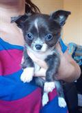 Chihuahua blu con pedigree femminuccia