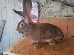 Conigli giganti delle fiandre