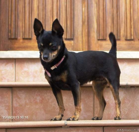 Cagliari cani e cuccioli annunci for Pincher volpino