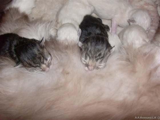 Cuccioli di gatto Siberiano ipoallergenico