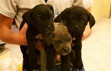 Cuccioli di cane corso