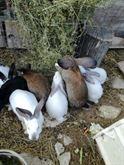Conigli di montagna
