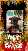 Cucciola di chihuahua nata il 13.11