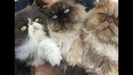 Gatto persiano ipertipico per accoppiamento