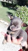 Chihuahua maschio blu focato