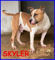 Skyler dolce pitbull 5 anni tenerissimo adora le coccole