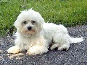 Annunci animali cani gatti allevamenti e altro for Cane razza maltese
