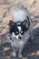 Chihuahua Maschi Come Riproduttori