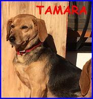 Tamara simil beagle 4 anni non ha ancora una famiglia