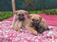 Mix pastore tedesco, cuccioli, adozione