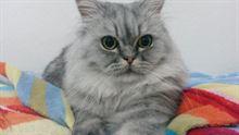 Cerco gatta per accoppiamento