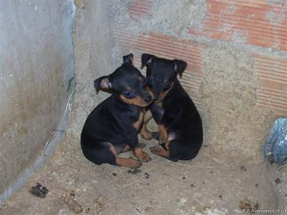 Annunci animali cani gatti allevamenti e altro for Pinscher nero