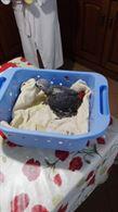 Cessione pappagallo cenerino