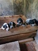 Cuccioli di Bracco Pointer