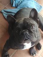 Bulldog francese adulta con pedigree