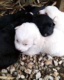 Cuccioli di Cane Corso - Regalo