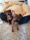 Cuccioli di pinscher maschi di 3 mesi.