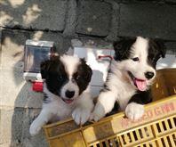 Cuccioli di border collie