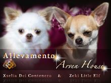 Chihuahua maschietti e femmine