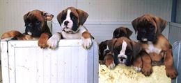Cuccioli boxer con pedigree