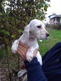 Cuccioli di due mesi di setter inglese con pedigree