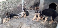 Vendita di cuccioli pastore tedesco
