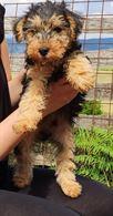 Lakeland Terrier cuccioli con pedegree