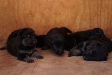 Bellissimi cuccioli di Pastore Tedesco Nero Focato