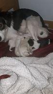 Cuccioli di cane meticci - Incrocio con Border Collie