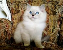 Gattini RAGDOLL con pedigree
