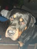 Rottweiler maschio 19mesi pedigree Enci