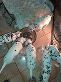 Dalmata cuccioli Disponibili di purissima razza