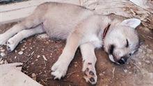 Cuccioli simili lupo cecoslovacco