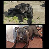 Cuccioli Pitbull - un mese di vita