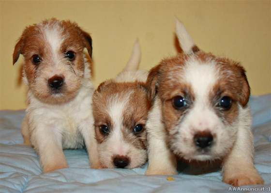 Brescia cani e cuccioli annunci for Jack russel pelo lungo