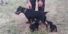 Jagd terrier puri