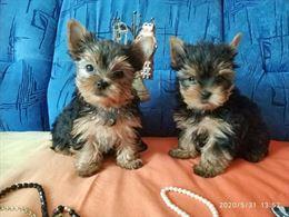 Cuccioli yorkie maschi e femmine