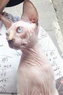 Cerco gatto sphinx maschio per monta