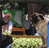 Cuccioli di carlino con pedigree da expo
