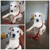 Perseo cucciolo meticcio bianco