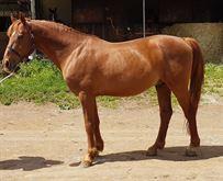 Cavallo 13 anni