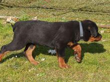 Cuccioli rottweiler - geneologia dimostrabile