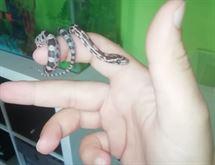 Serpente del Grano, Pantherophis ex Elaphe
