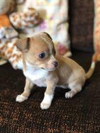 Chihuahua nata il 08/12