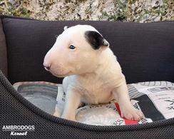 Bull Terrier Inglese Standard Cuccioli