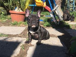 Splendida bulldog francese nata in casa
