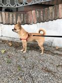 Chihuahua maschio x monte