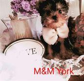 Cuccioli Yorkshire taglia mini con pedigree ENCI